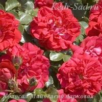 Роза парковая Колосал Майделенд