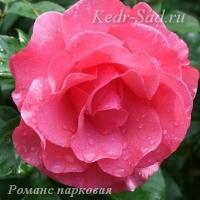 Роза парковая Романс