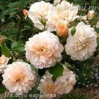 Роза парковая Пегасус