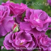 Роза парковая Рапсоди ин Блю