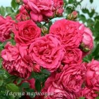 Роза парковая Лагуна