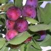 Сливово-вишневый гибрид Майнер