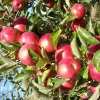 Яблоня Смугляночка