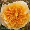 Роза флорибунда Голд Топаз