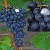 Виноград Аттика кишмиш