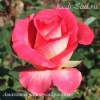 Роза чайно-гибридная Амазонка