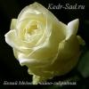 Роза чайно-гибридная Белый Медведь