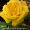 Роза флорибунда Мишель Миньон