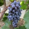 Виноград Юпитер кишмиш