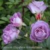 Роза плетистая  Виолет Парфюм