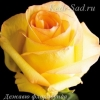 Роза флорибунда Дежавю