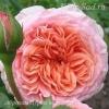 Роза парковая Абрахам Дерби