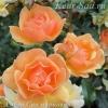 Роза парковая Амбер Сан