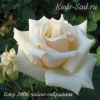 Роза чайно-гибридная Клер-2006
