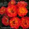 Роза спрей Тайфун
