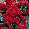 Роза почвопокровная Сентро