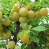 Сливово-вишневый гибрид Пирамидальная