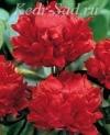 Пион травянистый - Ред Меджик