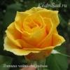 Роза чайно-гибридная Латина