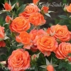 Роза Спрей оранжевый