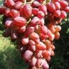 Виноград Кинг Руби