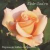 Роза чайно-гибридная Карамель
