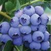 Голубика садовая Эрлиблю