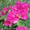 Роза флорибунда Неон