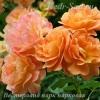 Роза парковая Вестерланд парк