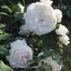 Роза флорибунда Космос