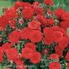 Роза мини Литл Ред