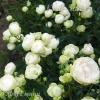 Роза мини Глобус