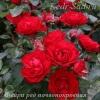 Роза почвопокровная Фейри Ред