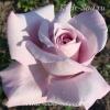 Роза чайно-гибридная Блу Найл