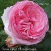 Роза парковая Эден Розе 85