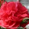 Роза парковая Ютерсенс розенпринцесс