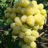 Виноград Афродита кишмиш