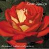 Роза чайно-гибридная Большой