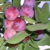 Сливово-вишневый гибрид ОПАТА