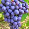 Виноград Витязь