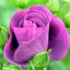 Роза флорибунда Россион