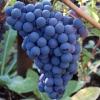 Виноград Венус кишмиш
