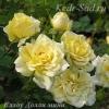 Роза мини Еллоу Долли
