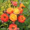 Роза флорибунда Румба