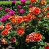 Роза флорибунда Микс сортов