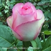 Роза чайно-гибридная Бела Вита