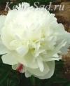 Пион травянистый - Белый Журавль
