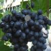 Виноград Галия