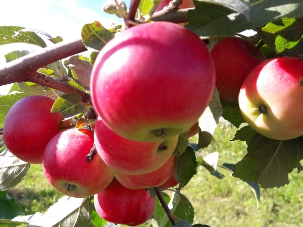 Саженцы плодовых деревьев. Саженцы ягодных кустарников. Саженцы плодовые купить.