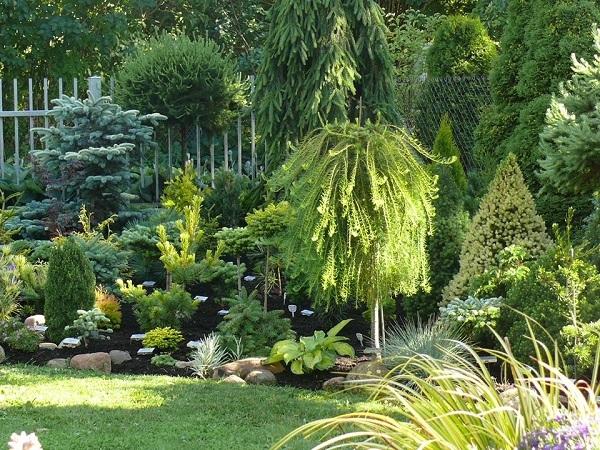 Саженцы хвойных растений.Купить хвойные растения!